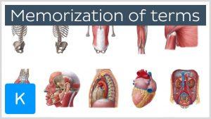 Memorizing Anatomy Skills for Medical Students